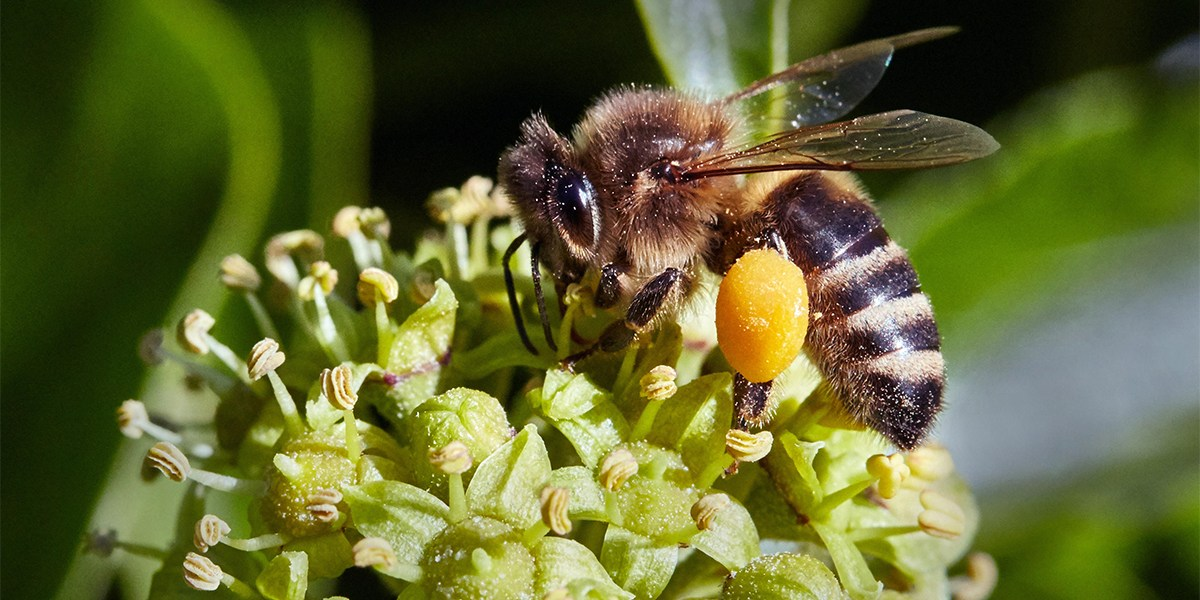 Honeybee collecting ivy pollen