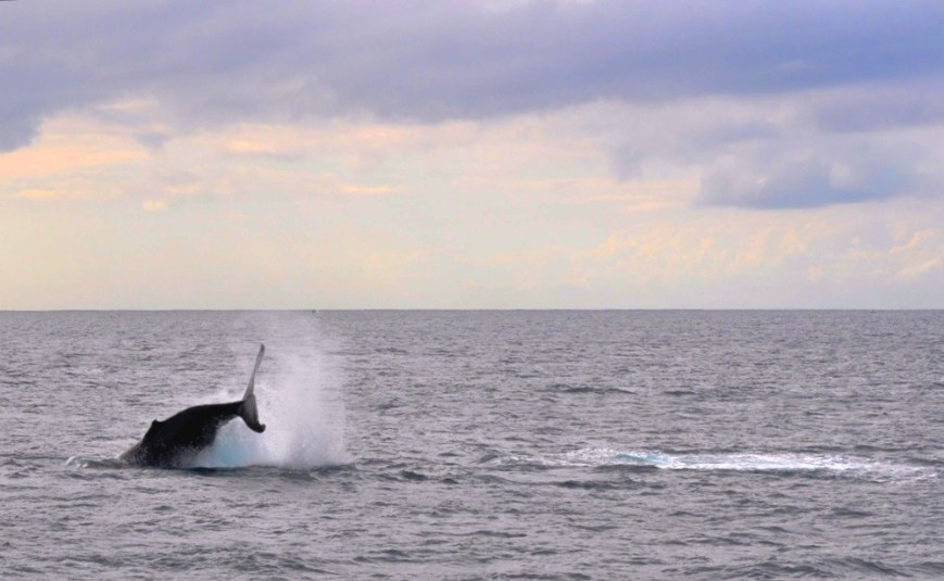 Photo of a humpback whale in Moreton Bay with Brisbane Whale Watching