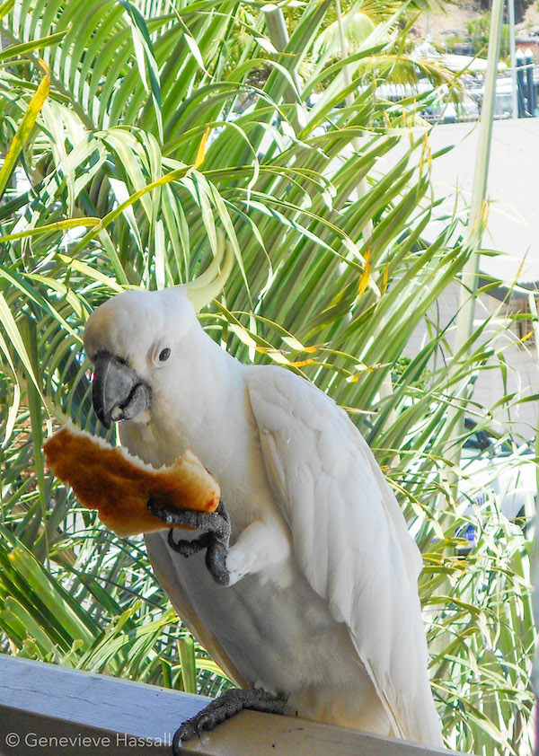 Cockatoo on Hamilton Island Australia