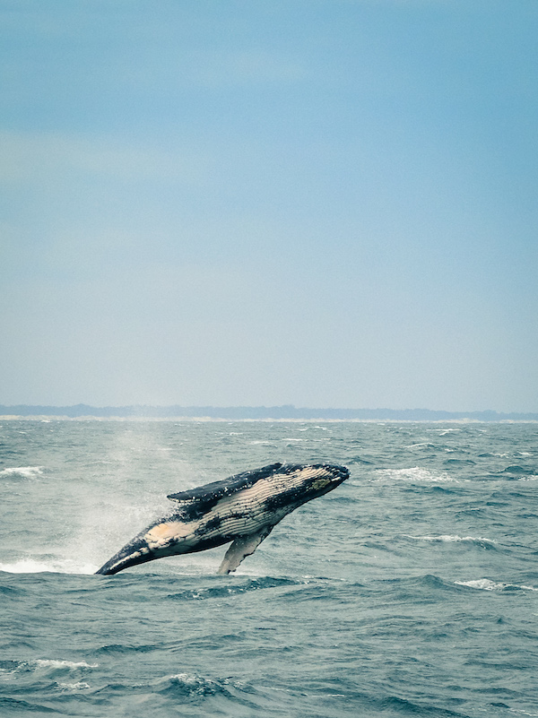 humpback whale watching on the gold coast