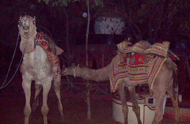 Camels in chowki dhani, jaipur India