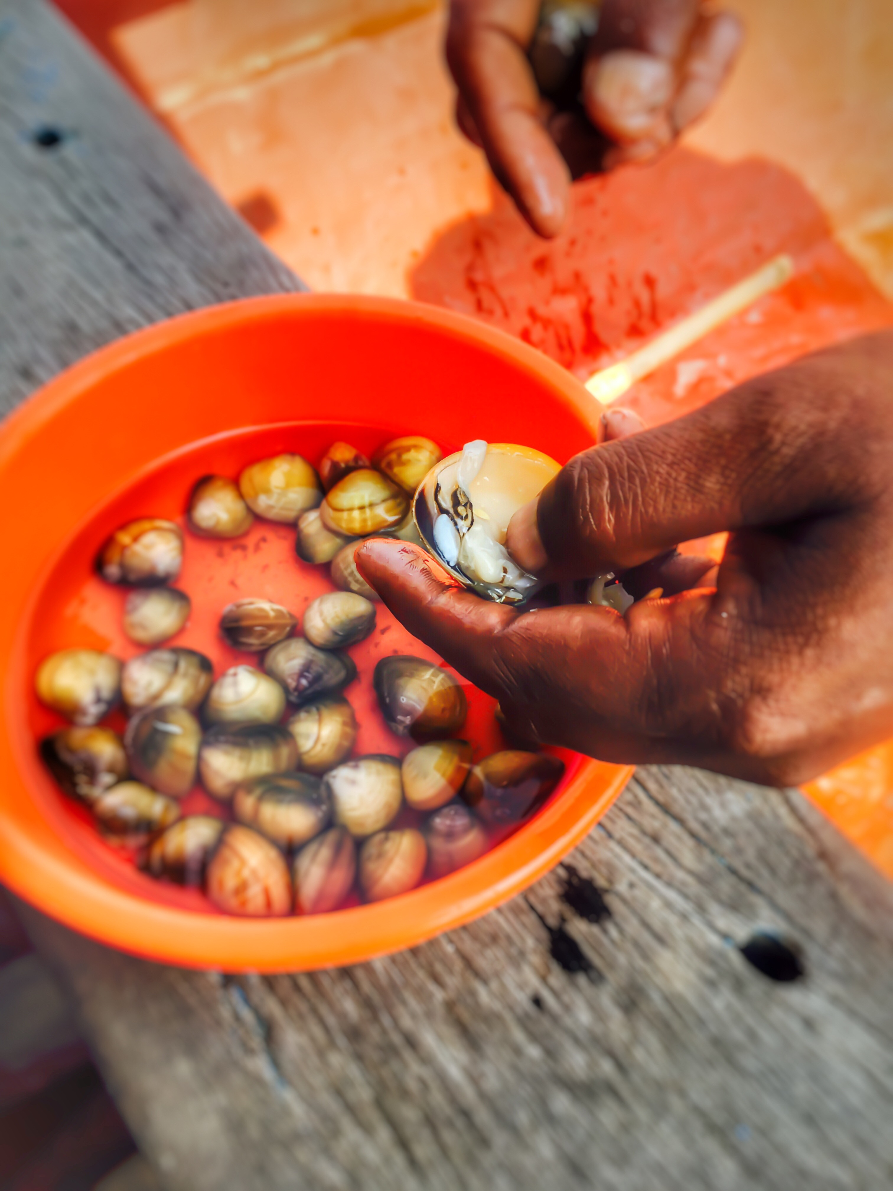 White pearl being extracted from the shell.