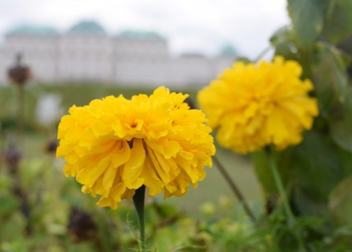 Belvedere Palace in background of Marigold Flower in focus