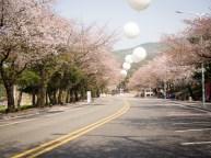 Cherry blossom tracks