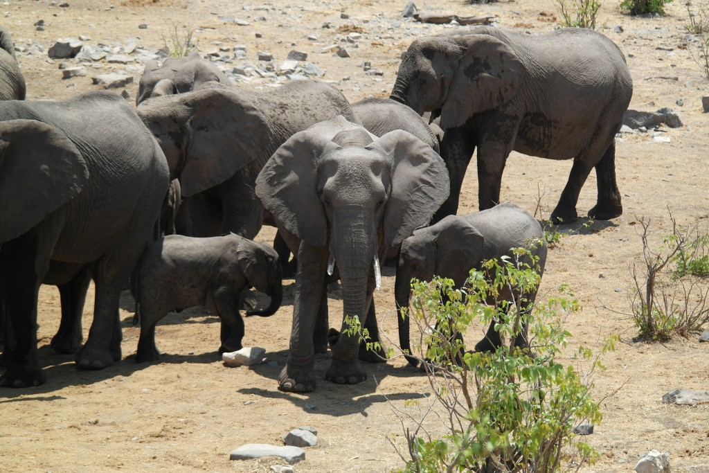 Elephants at a Watering Hole in Etosha National Park