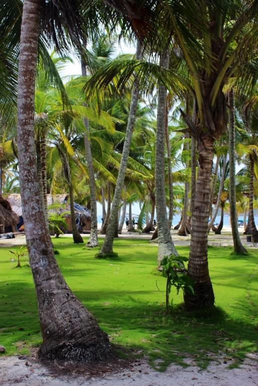 San Blas palm tree