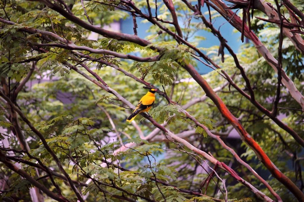 Yellow bird Singapore