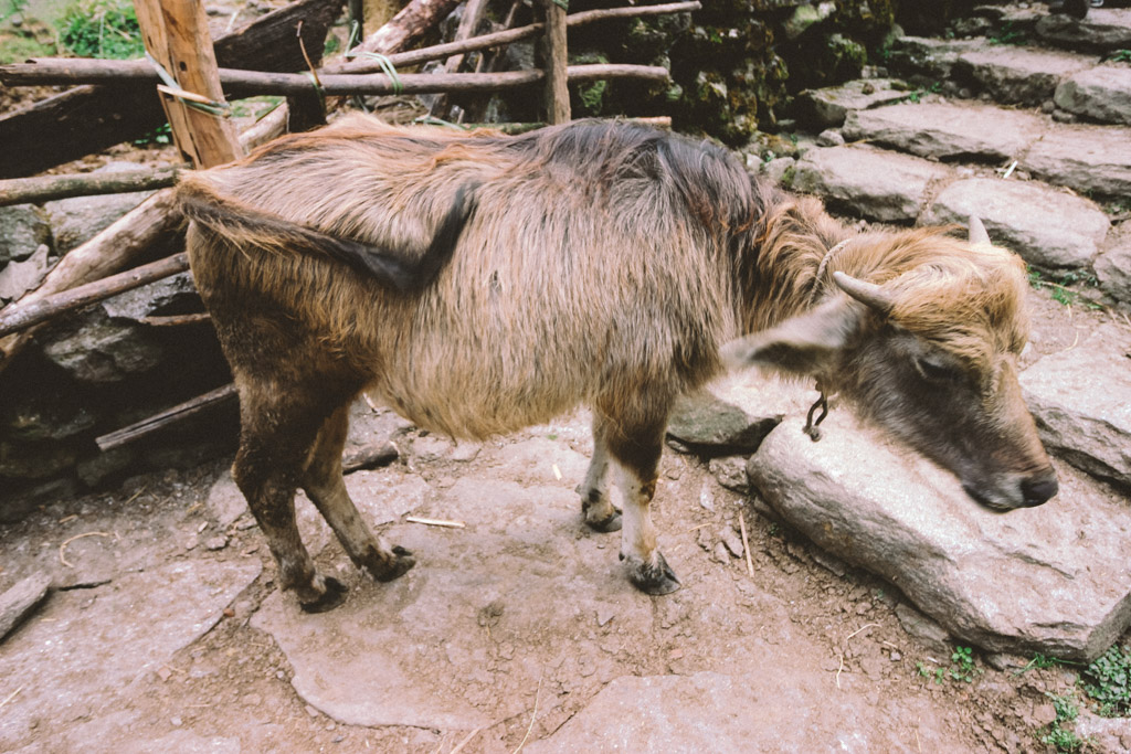 Animal | Himalaya | Chumrong | Nepal | ABC | Trekking | Hiking
