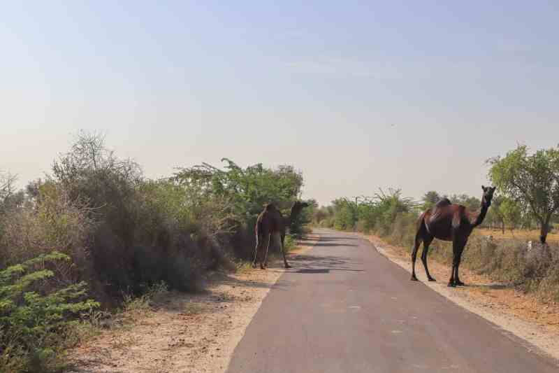 black camels on road | things to do in Pushkar
