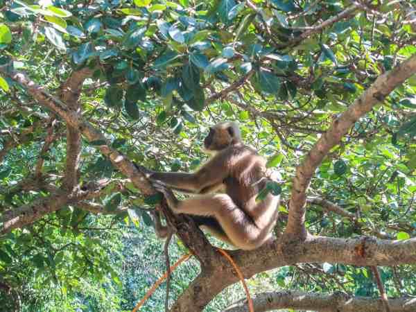 Rishikesh Travel Guide monkeys
