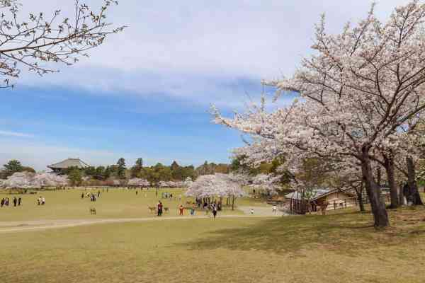 Nara park Cherry Blossoms