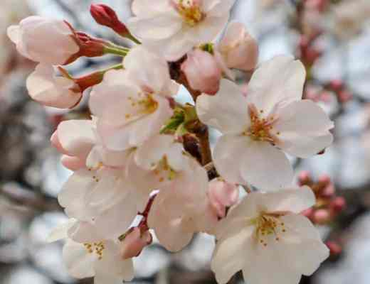 Best Places to See the Cherry Blossom in Japan in Spring.
