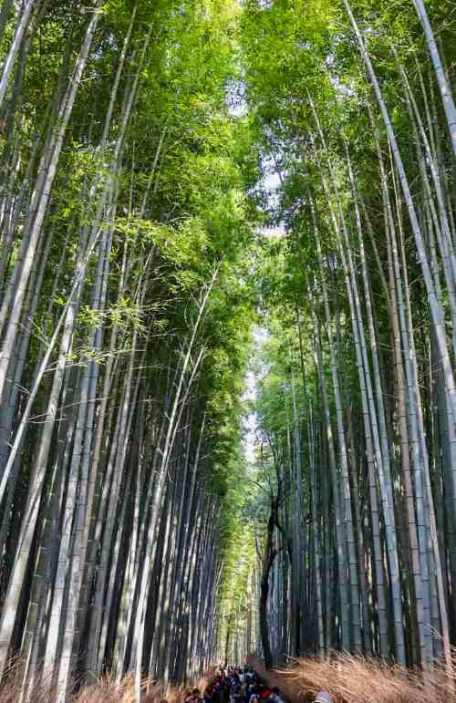 Kyoto day trip itinerary Bamboo Forest