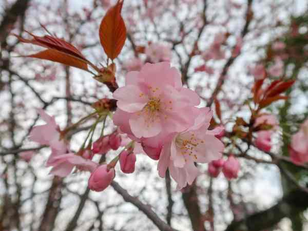 how to save money in Japan, cherry blossoms in japan