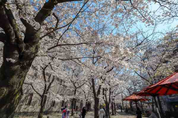 best place for Cherry Blossoms in Japan, gion kyoto cherry blossom