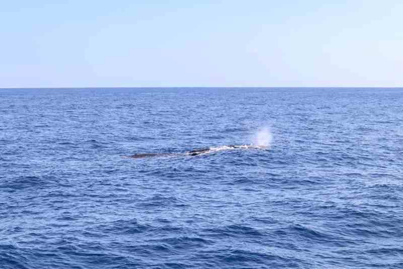 things to do in Dominica, Dive Dominica Whale Watching Tour seeing Sperm Whales