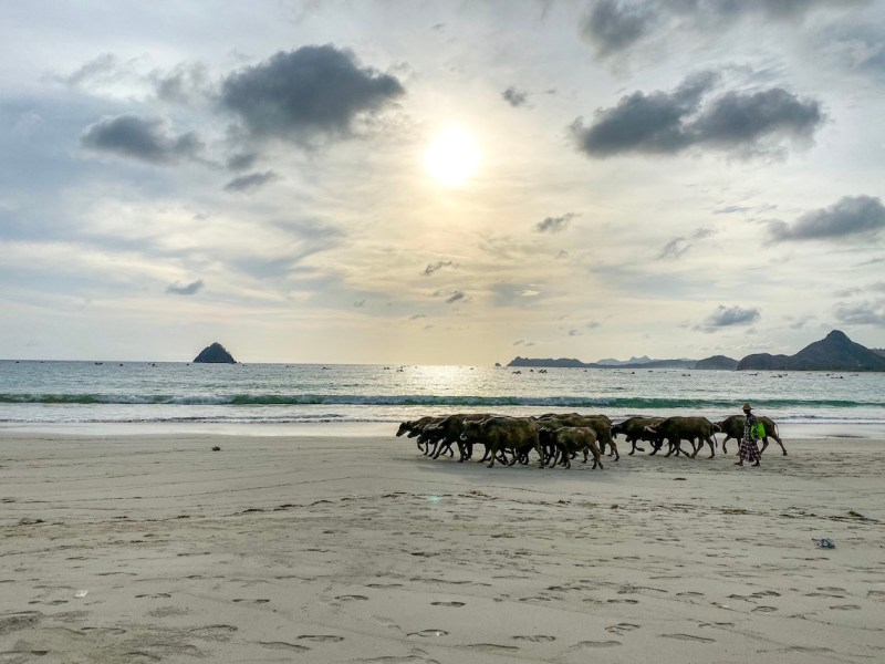 water buffalo on Selong Belank Beach | Lombok itinerary