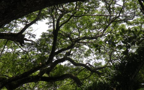 Looking up into the canopy of one of the trees surrounding the square