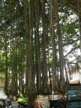 Aerial roots making their way toward the ground