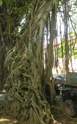 A whole environment among the strangler roots of the ficus