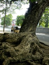 Aerial Gardens & Visible Roots - The Twists & Turns of the Thurston Street Trees 1 (1)