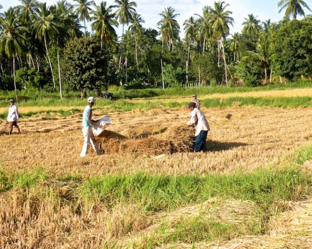 Harvest Time and the Maalu Man 3
