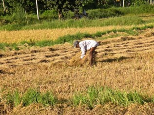 Harvest Time and the Maalu Man 4