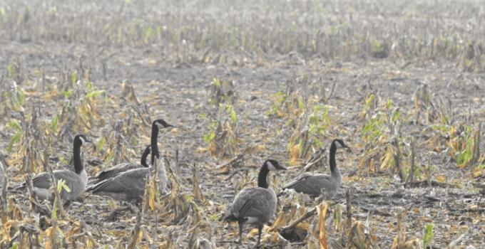 Field Hunting Geese