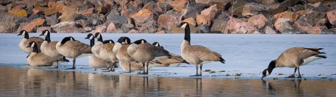 Where do geese roost