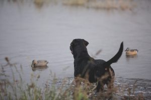Best duck Decoys