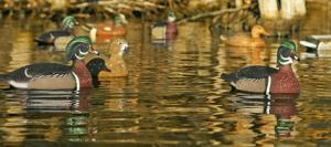 Wood Duck Hunting
