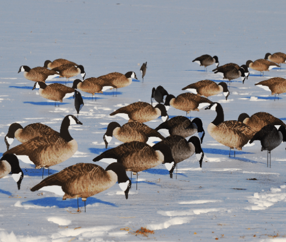 Canada Geese Dive bomb Decoys