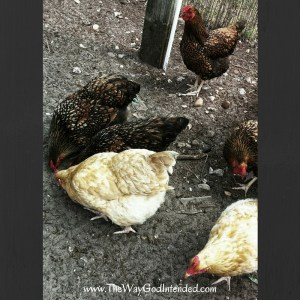 Our 6 Hens.