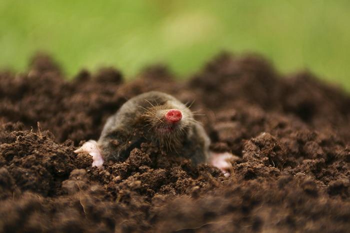 Common Mole in mole hill, Talpa eauropaea