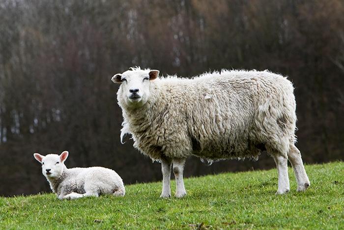lambs in Cumbria