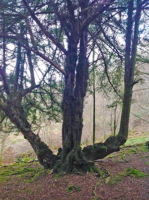 Fell Foot Wood - The Yew Tree Circle