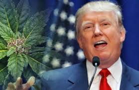 Here's where Donald Trump stands on marijuana legalization