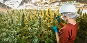 30 Licensed Canadian Cannabis Producers You Need To Know About