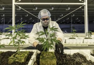 Pot Is So Hot in Canada That Firms Are Importing Workers