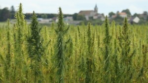 Hemp is officially legal now that Trump has signed Farm Bill into law