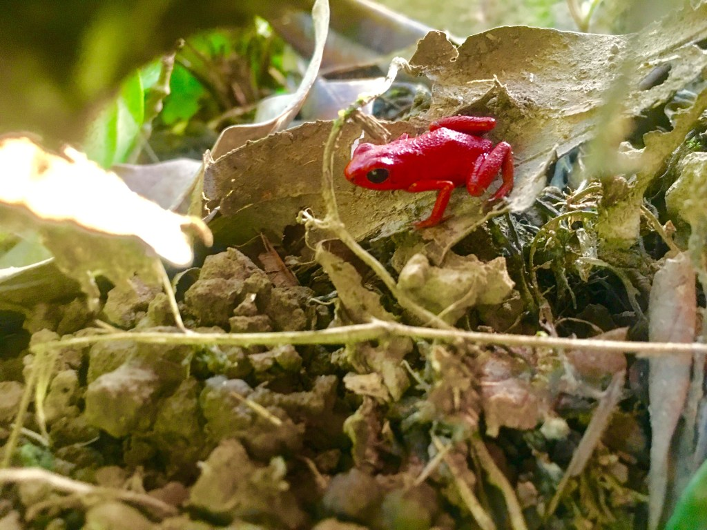 Islands of Bocas del Toro: Red Frog in the Jungle of Isla Solarte | TheWeekendJetsetter.com