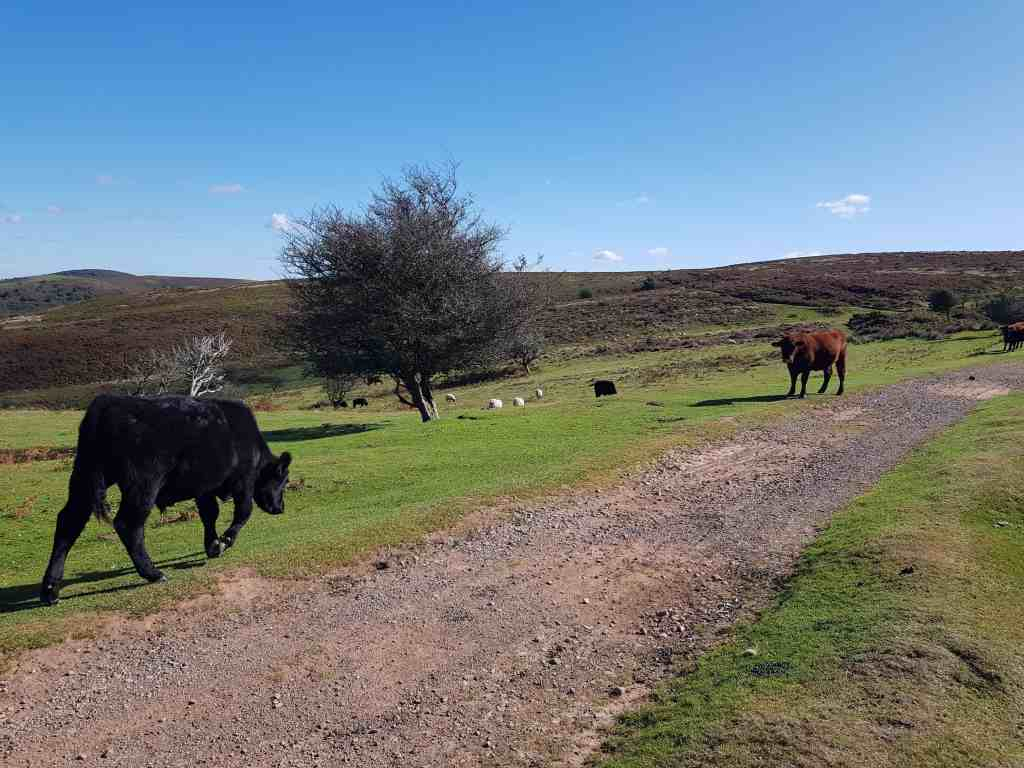 Cows on the Quantocks