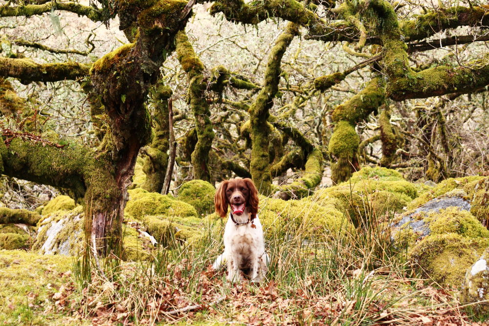 Dog at Wistmans Wood