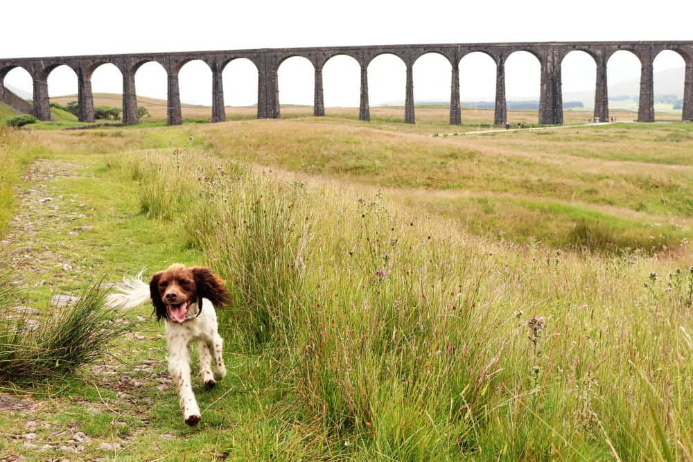 Una enjoying herself at Ribblehead Viaduct