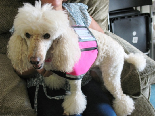 Dolly the Therapy Dog