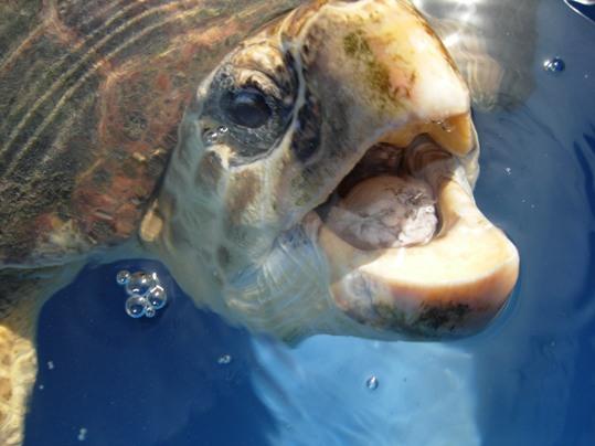 "A few months ago, a loggerhead sea turtle swam right up to the Turtle Hospital seeking ""free"" medical treatment"
