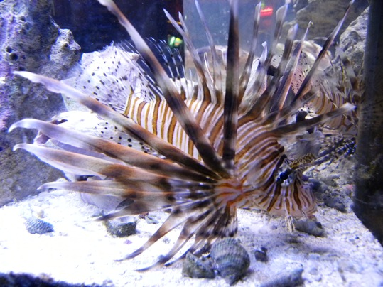 We'll tell you where one of the Lionfish was spotted. Nestled in the grooves of the target planes sunk right before Boca Grande Channel off the coast of Key West! Photo by Josie Koler