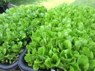 Baby lettuces (R) and Chard (L)