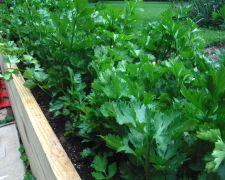 Celery/Parsley