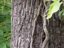 Black Walnut Bark